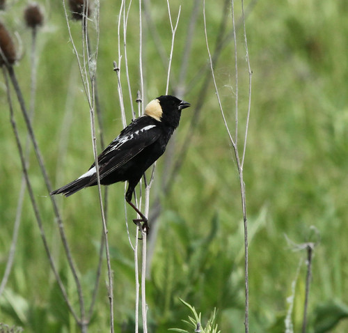 Bobolink - Male by JKissnHug