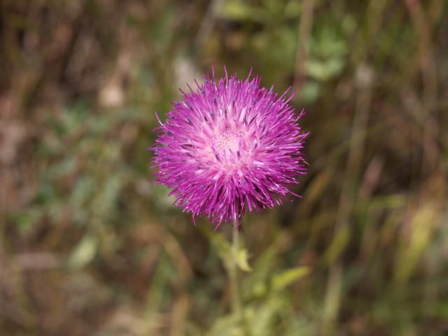 某種菊科薊屬的小花