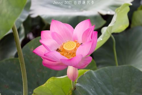 20110620白河蓮花季-5576