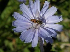011 (keepps) Tags: blue summer flower june insect schweiz switzerland suisse fribourg wildflower montbovon hautintyamon