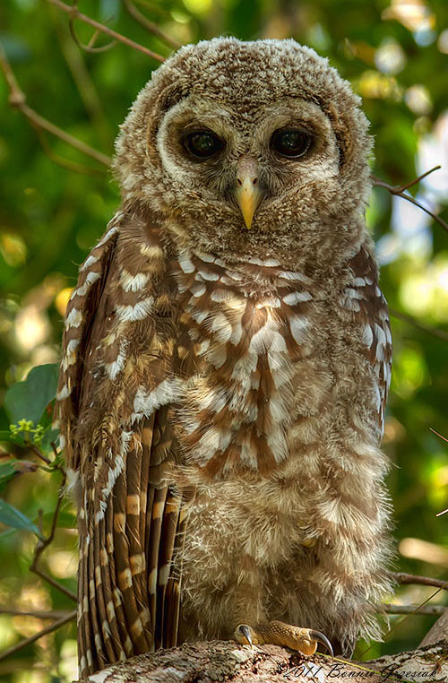 Florida Barred Owlet 1014