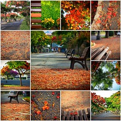 Jacaranda Mosaic (Mara T Pons) Tags: flowers red orange mosaic blossoms jacaranda rambla flamboyan