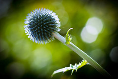 RIP Macro Lens (Chris Willis 10) Tags: flower simon lens thistle rip sait macrop simonsait