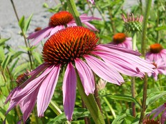 Echinacea... (Rosa Dik 009 -- on& off) Tags: light macro colors composition dof pov tags citypark ohne loweraustria wienerneustadt mixedflowers echinaceaflowers flowersarebeautiful photographystudy excellentsflowers exquisiteflowers mimamorflowers flickrflorescloseupmacros summer2011 nikoncoolpixs4000