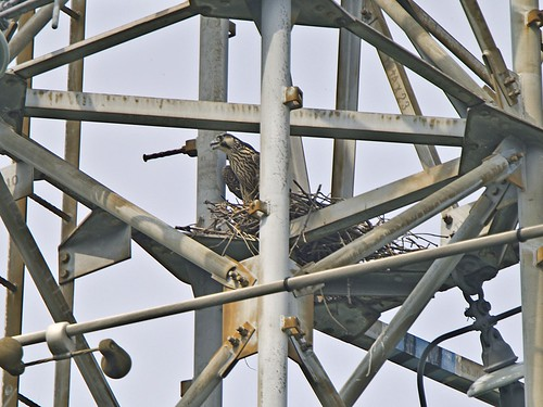 Yang Falcon on the crow's nest