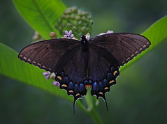 Black Tiger Swallowtail (ashockenberry) Tags: ringexcellence dblringexcellence tplringexcellence