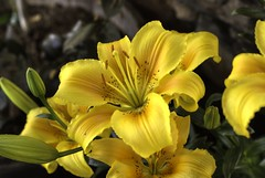 Soft Yellow (Gryffngurl) Tags: california family flowers trees summer mountains green nature rock outdoors wooden claire unitedstates historic foundation hills winery valley owned recreation lush establishment grapevines goldcountry toney calaverascounty 2011 challengeyouwinner ironstonevineyards clairetoney