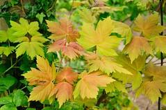 Coloured Leaves (EJ Images) Tags: park uk england plants green slr leaves woodland leaf suffolk woods nikon nef parks sycamore dslr eastanglia lowestoft 2014 nikonslr d90 nikondslr pakefield sycamoreleaves nikond90 18105mmlens ejimages pakefieldpark dsc1544d1