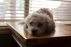 Its Sunday! (Polar Bear 1) Tags: dog puppy mutt texas bored houston naturallight sleepy lazy doggy kiwi pooch backlighting