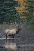 Quebec Elk & Red Stag Hunt 38