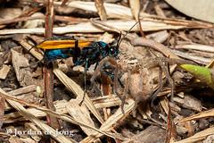 _-593.jpg (Jordan de Jong) Tags: nature insect spider flickr wasp wildlife arachnid australia queensland townsville invertebrate hymenoptera minibeast pepsis