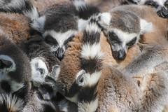 A pile of cuteness (Infomastern) Tags: zoo lemur lemurcatta ystaddjurpark ringsvanslemur kattmaki