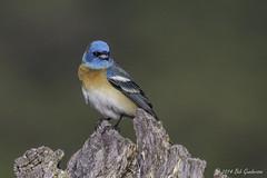 Lazuli Bunting (Bob Gunderson) Tags: california birds northerncalifornia southbay buntings santaclaracounty ranchosanantonio lazulibunting passerinaamoena avianexcellence