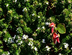 Beach wildflowers (jack eastlake) Tags: bunga beach south headland wildflowers national parks bermagui murrah bega valley far coast nsw tathra