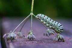 A passeggio sul finocchiastro...walking on the wild fennel (Angelo Petrozza) Tags: machaon macaone papilio farfalla lepidoptera lepidopthera bruco larva focus macro selective 100zeissmakroplanar manuallens colours pentax