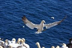 20160912_024_ile_bonaventure_fou_de_bassan_a_l_atterissage (lindy_scuba) Tags: bonaventure canada flying gannet landing perce quebec
