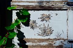 Time's Bouquet (Joanne Dale) Tags: joannedale nikond7200 shadow paint peeling blue grapevine flowers wood