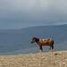 Cavalo celado
