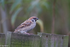 Tree sparrow (kjclenz2010) Tags: rspb canon7d sigma treesparrow saltholme