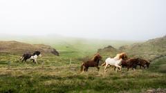Horses at Hnafjrur, Iceland (Malenkov in Exile) Tags: hnafjrur fog fuana horse iceland livestock