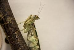 DSC_1946 (xav_roberts) Tags: nikonv1 amateur entomology animal inset mantid white ghost mantis praying