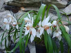 Cymbidium erythrostylum 'Ori Gem (Dylan's Orchids) Tags: cymbidium erythrostylum ori gem