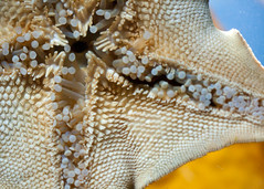 "Underbelly of a Sea Star • <a style=""font-size:0.8em;"" href=""http://www.flickr.com/photos/30765416@N06/5797515353/"" target=""_blank"">View on Flickr</a>"