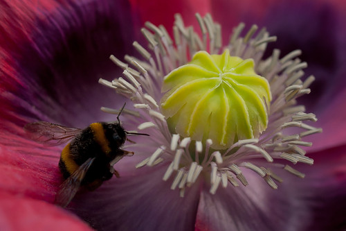 420/1000 - Bee on a poppy by Mark Carline