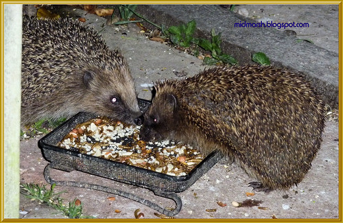 Snuffling Hedgehogs 4