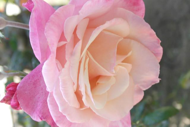 Juan's rose