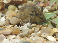 Garden Mouse (Alex Staniforth: Wildlife/Nature Photography) Tags: alex casio staniforth exfh20