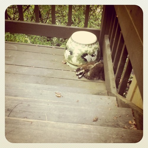 I called AARP thinking they could help me with the raccoons in my yard.  I figured they are old and experienced and would know what to do, then I realized I think i confused acronyms. by Creative Outlet Images Photography