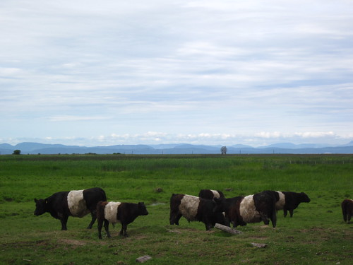Belted Galloway cattle grazing on the Richmond Dyke