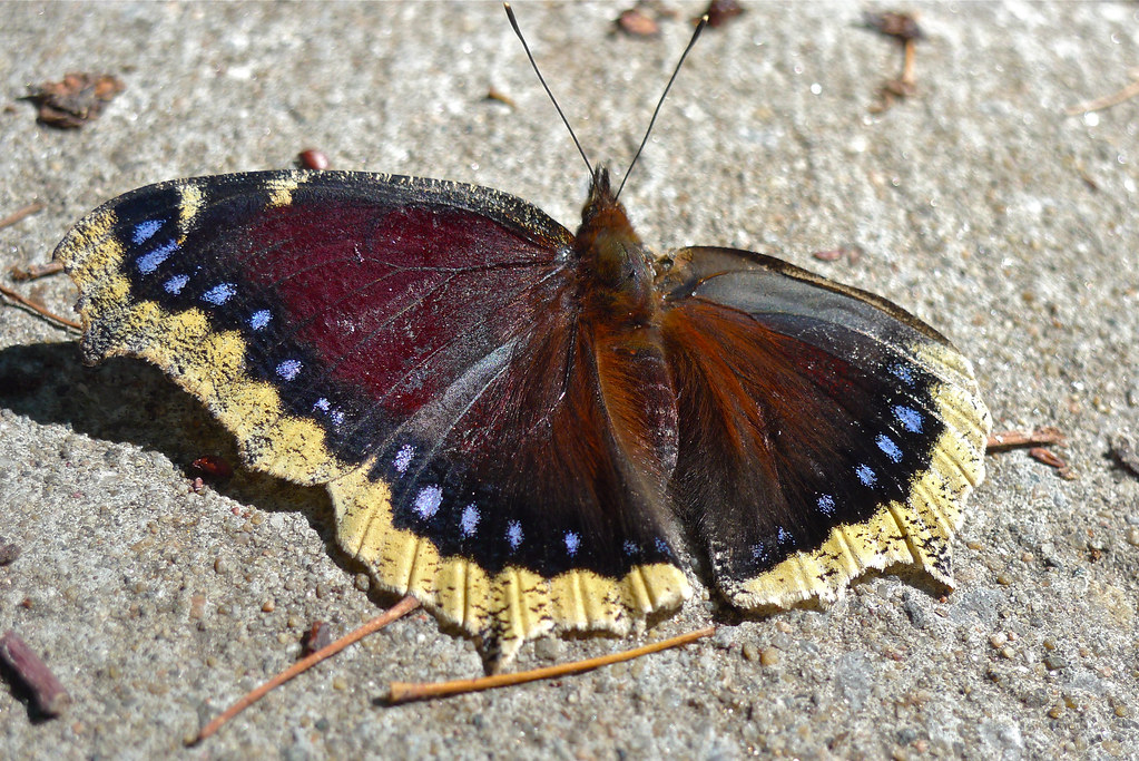 Copyright Photo: Mourning Cloak Butterfly by Montreal Photo Daily, on Flickr
