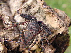 CIMG7286 (mantidboy) Tags: pet forest spider rainforest arachnid tail scorpion exotic bark scorpions whip cave charon hiding predator cf invertebrate dwelling insectivore tailless amblypygid tailess amblypygi grayii phillipenes grayi