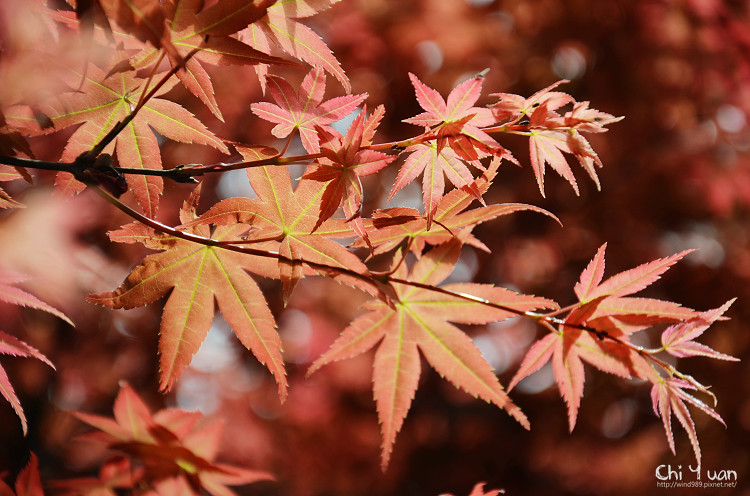 竹子湖紅楓04.jpg