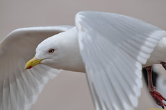 Don't hit the lens! :) (20120331-142102-PJG) (DrgnMastr) Tags: canada birds gulls newbrunswick moncton interestingness162 grouptags avianexcellence allrightsreserveddrgnmastrpjg diamondclassphotographer flickrdiamond eiap rawjpg petticodiacriver dmslair explore20120406 pjgergelyallrightsreserved