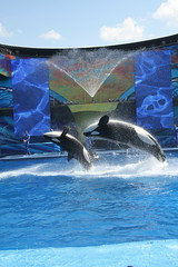 Orca (Jasmine'sCamera) Tags: white black orlando killer whale orca seaworld