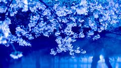 PhoTones Works #1200 (TAKUMA KIMURA) Tags: plant flower nature cherry landscape spring cloudy blossom     nokton   omd kimura   takuma   em5 apan photones