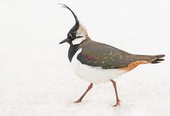 Töyhtöhyyppä (mattisj) Tags: bird suomi aves explore lapwing frontpage vanellusvanellus lappi tornio töyhtöhyyppä