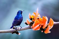Okay ! I'm ready... (K'Anas Ahmad) Tags: life pakistan flower macro male bird nature colors closeup canon hummingbird bokeh kanas anas sunbird canon550d
