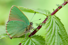 GREENHAIRSTREAK 2012  #1 (GOLDENORFE) Tags: macro butterfly insect butterflies greenhairstreak