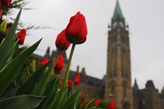 Tulip time at the Peace Tower (beyondhue) Tags: red ontario canada flower green tower leaves leaf spring day peace close cloudy bokeh postcard ottawa hill gray lawn parliament canadian tulip bloom 2012 tulipfest beyondhue