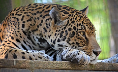 Jaguar at rest (brookt1970) Tags: usa animal animals cat zoo florida bigcat jaguar zooworld nikond5100