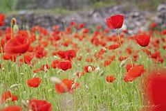 Un mar de amapolas (Evamar Llopis) Tags: primavera spring poppies amapolas redpoppies campodeamapolas d3raw