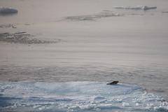 Harp seal on ice (Elvar H) Tags: arcticocean harpseal helmerhansen phocagroenlandica siarctic grnlandssel seal sealsampling sel vuselur