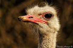 Altiva (marialusaarajo) Tags: ave avestruz atenta altiva
