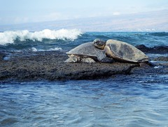 You Got to Have Friends (Jen R) Tags: honu puako friends greenseaturtle cheloniamydas