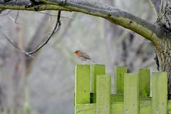Robin on a fence (suekelly52) Tags: robin bird