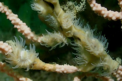 seafan anemones (richie rocket) Tags: scillies seasearch scillyisles cornwall uk underwater scuba diving